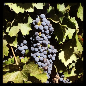 The grapes are just about ready for harvest in Napa.