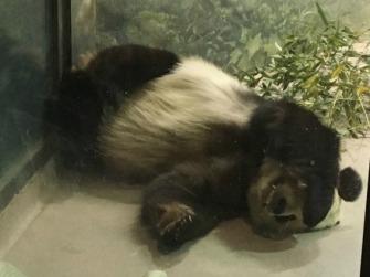 Sleepy Panda.